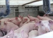 Bei diesem Viehtransport waren rund 500 Ferkel zusammengepfercht (Foto: polizeipresse.de)